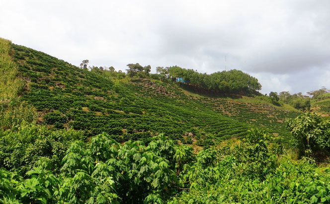 In der Gegend um Coban wird Kaffee angebaut. Es gibt dort auch eine Kardamom-Plantage. Das Gewürz wird in der indischen Küche oft verwendet.