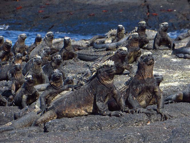 Galapagos-Meerechsen beim Sonnenbad. Sie kennen in der Regel keine Scheu.