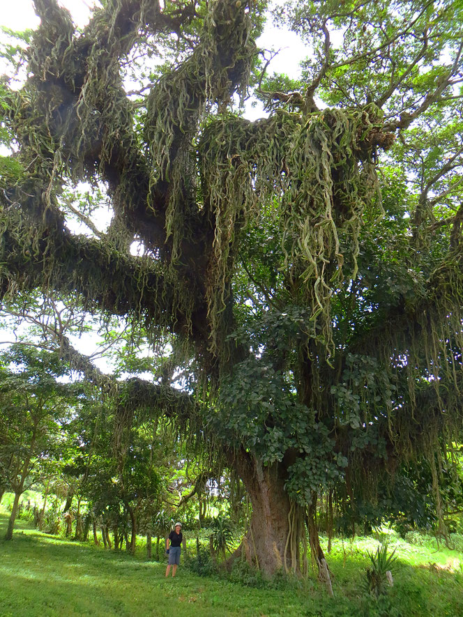 Sehr speziell: der ganze Baum ist mit Kakteen überwachsen.