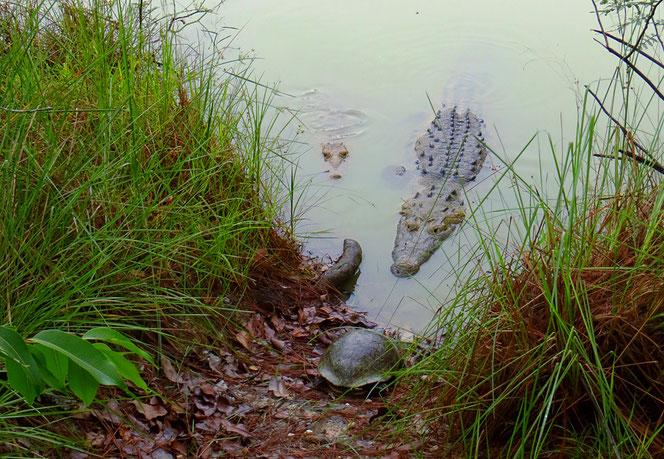 Füttern der Krokodile im nahen Teich beim Savanna Guest House. Die Wasserschildkröte (vorne) kümmert sich nicht um die Panzerechsen, ja stiehlt ihnen gar Futter!