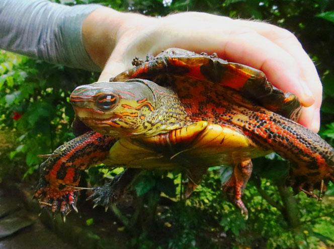 Waldschildkröten sind wunderschön gezeichnet. Sie leben an Land, mögen aber auch Wasser.