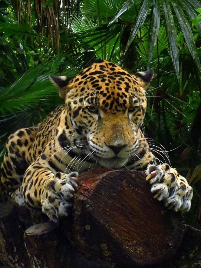 Mit Glück kann man im Schutzgebiet Leoparden beobachten. (Ein wunderschöner Bursche im Belize Zoo)