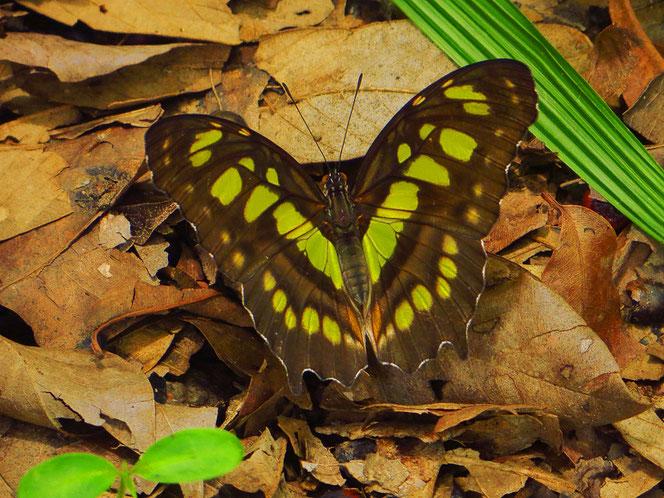 Und immer wiede wunderschöne, grosse Schmetterlinge!