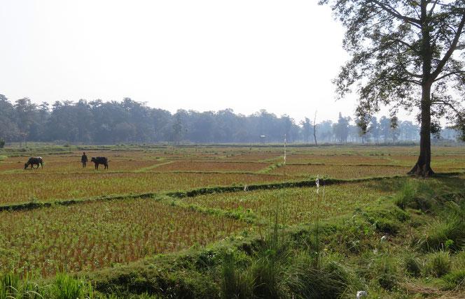 Reisfelder beherrschen das Landschaftsbild. Wie könnte es anders sein.