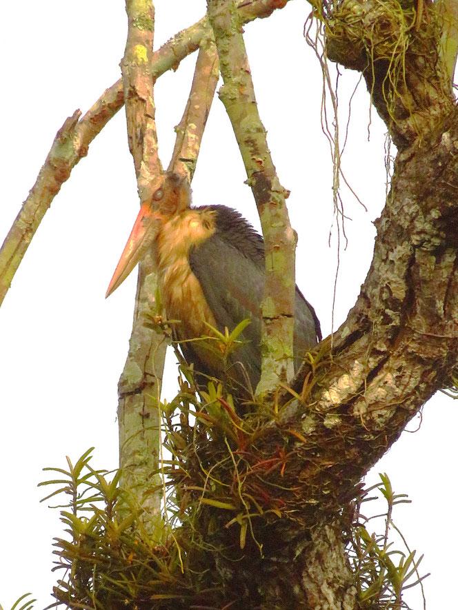 Ein mächtiger Vogel, der Marabu.