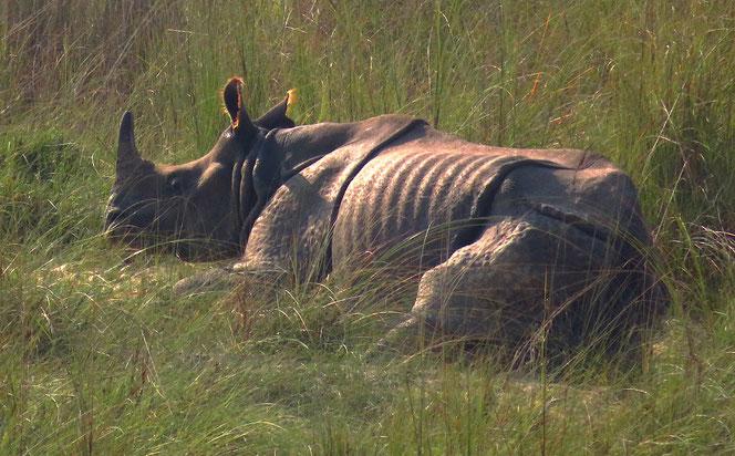 Mit diesen Kolossen ist nicht zu spassen. Panzernashornbulle im Chitwan Nationalpark.