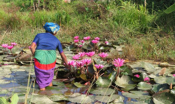 Für das Lichterfest Divali werden Lotusblüten geschnitten.