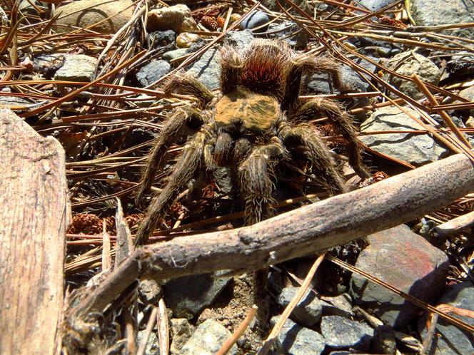 Spezielle Begegnung am Strassenrad: eine Tarantel aus der Familie der Vogelspinnen. Das Tier hatte eine Körperlänge von 6 bis 7 cm.