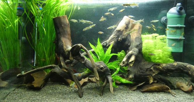 Bauchbrütende Reisfische und Neon-Reisfische von Arne Nolte