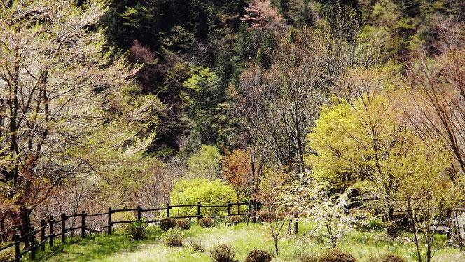 春名残の桜しゃくなげ美しい付知狭不動渓谷。しゃくなげ2107中津川の里山の春真っ盛り付知峡周辺山菜料理たけのこ筍料理