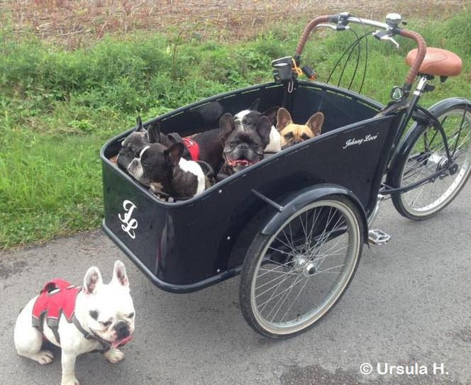 """Originalzitat Ursula: """"Ist das einzige Fahrrad in das 5 Französische Bulldoggen passen."""""""
