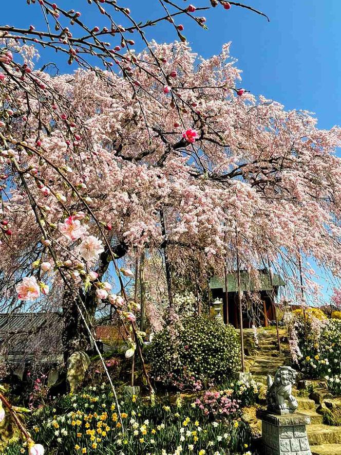 玉川村 金毘羅桜