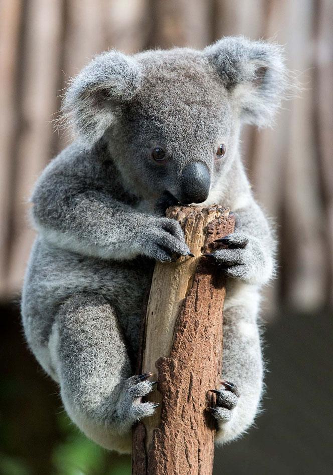 A cute Koala Baby sitting on a tree in a Sanctuary in Brisbane, Queensland, Australia, 1275x1820px