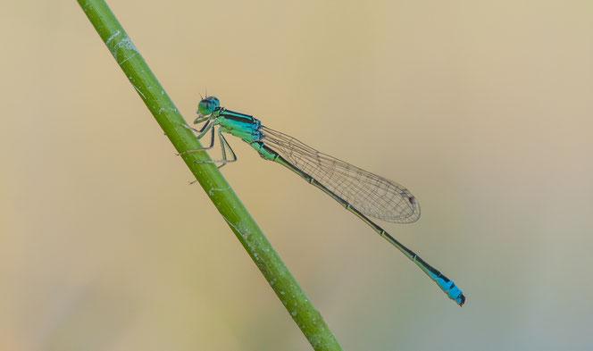 Männchen der Kleinen Pechlibelle, Glasmoor SH, Foto: Angela Bruens