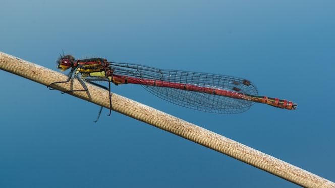 Männchen der Frühen Adonislibelle, Bollingstedter Moor, Foto: Angela Bruens