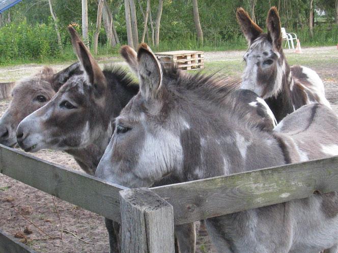 Esel im Wendland