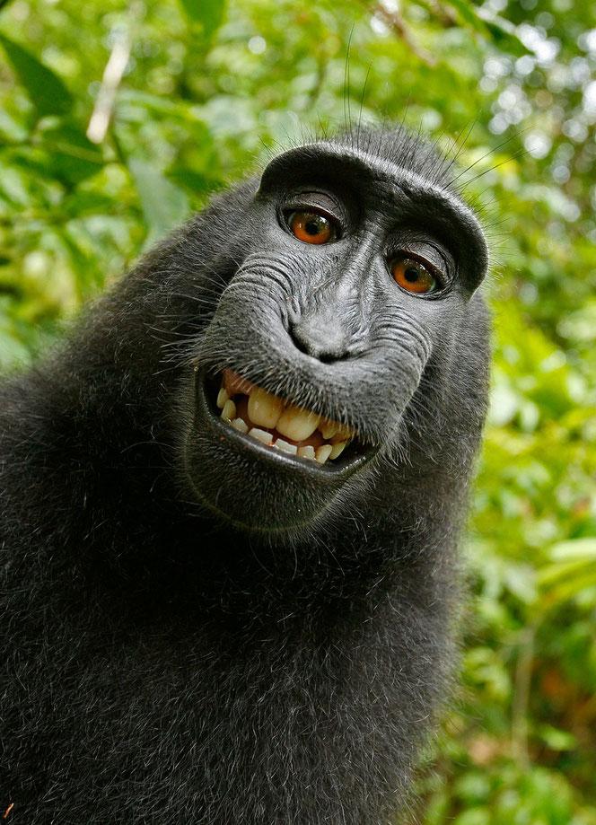 Affe macht Selfie (Foto: Pixabay bzw. Affe Naruto)