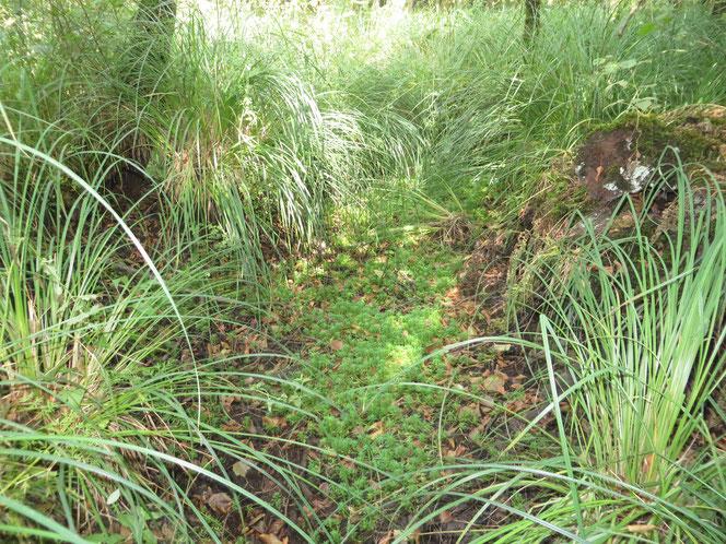 Plek met sterker ingeklonken veen, waardoor laagte met Waterviolier is ontstaan. Hier op 31 augustus 2018, toen het broekbos is drooggevallen.