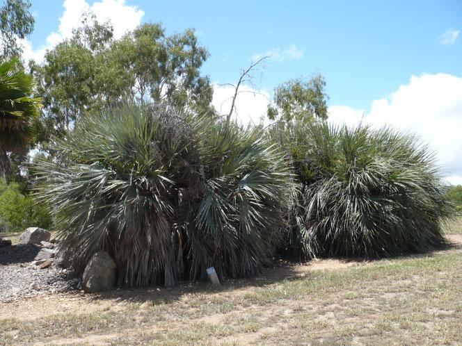 Nannorrhops ritchiana (Mazaripalme) mit alten Blütenständen im Palmetum in Townsville, Queensland, Australien