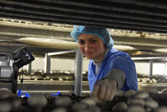 Сборщик грибов в сельское хозяйство