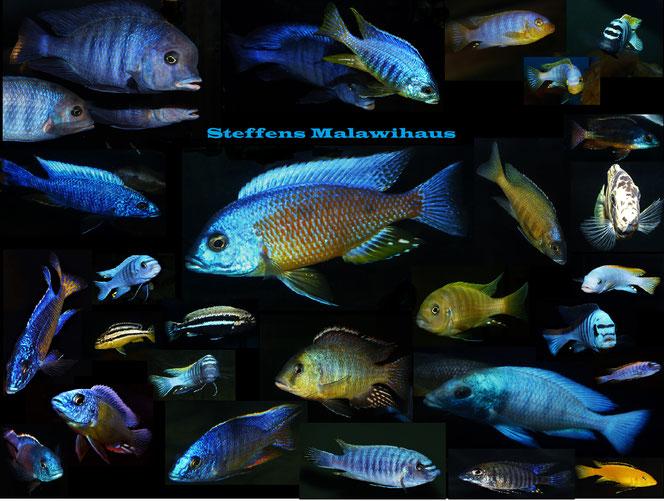 Zuchtgruppe Labidochromis hongi red top
