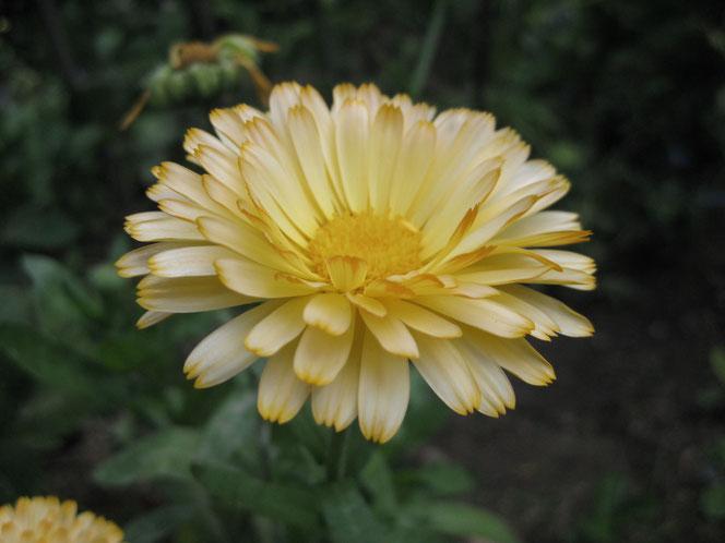 copyright www.birthe.eu Birthe Sülwald Kräuter Blüten und Blätter Ringelblume