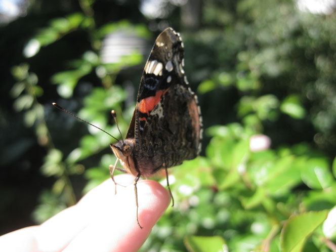 Schmetterling copyright www.birthe.eu Birthe Sülwald butterfly auf meiner Hand