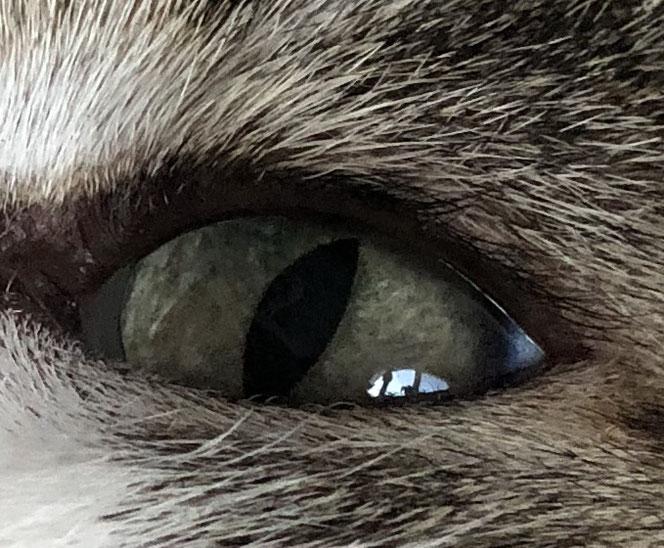 Katze, black-tabby/white, schwarze Wimpern am oberen Augenlid, Foto: B. Kuhlmey