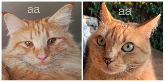 Zwei rote Katzen, beide tragen nonagouti, Genotyp XOXO aa
