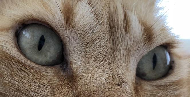 Katzen haben Wimpern an den oberen Augenlidern - direkt oberhalb der unbehaarten Lidränder - im Bereich der Fellhaare