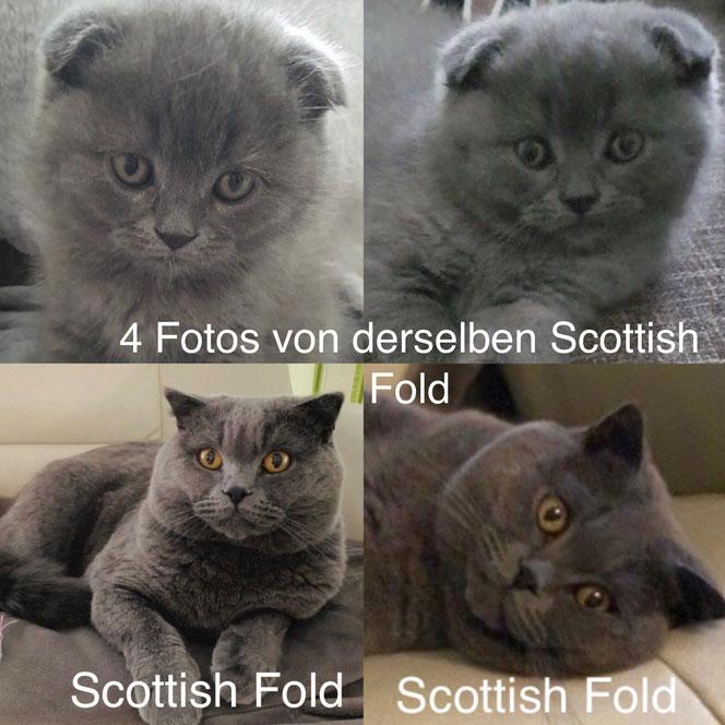 Das Gen für Faltohren verhält sich dominant - mit unvollständiger Penetranz, auf dem Bild sind vier Fotos von ein und derselben Scottish Fold Katze, zwei im Kitten-Alter, zwei im Erwachsenen-Alter