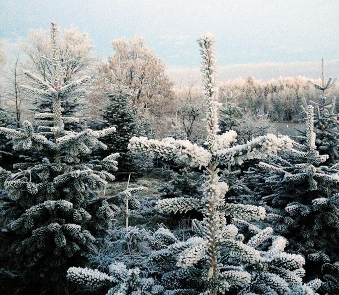 Rauhreif verzaubert die Bäume in unserer Plantage.