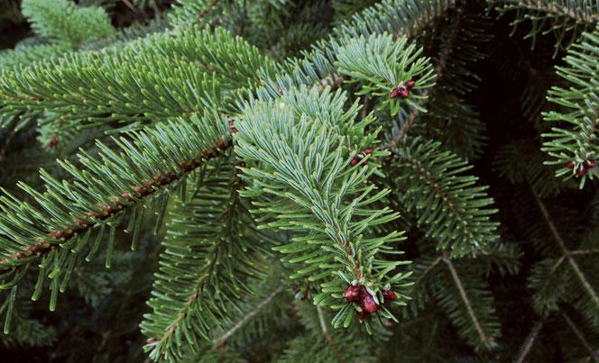 Zweige einer Nordmann-Tanne mit sattgrünen, dichten Nadeln - fotografiert in unserer Plantage.