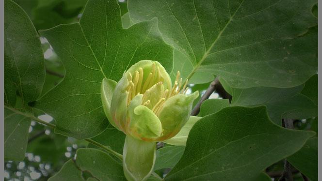Fleur et feuilles du Liriodendron tulipifera (Tulipier) visibles en été au jardin...
