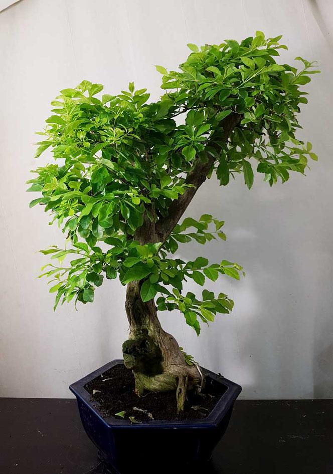 Bonsai Duranta in Wien kaufen