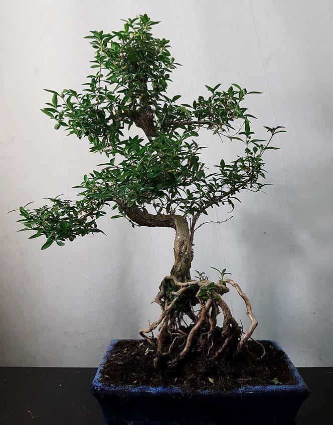 Bonsai in Wien kaufen
