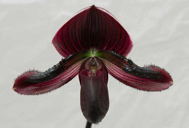 Blüte Frauenschuh Paphiopedium
