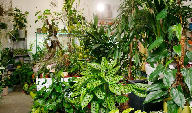 Zimmerpflanzen kaufen Wien