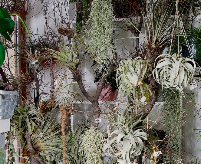 Tillandsien kaufen bei Flowercompany Wien