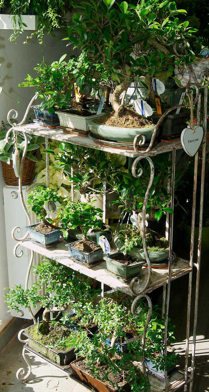 Zimmer - Bonsai bei Flowercompany in Wien kaufen