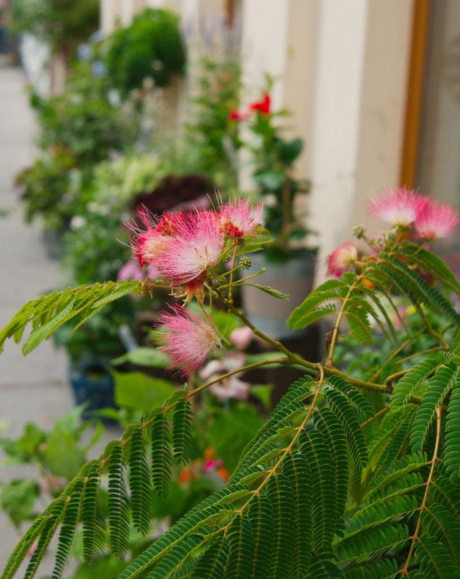 Albizia, Schlafbaum oder auch Seidenbaum bei Flowercompany in Wien