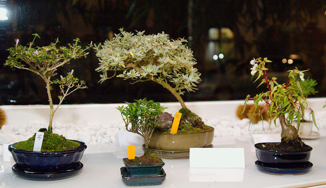 Zimmerbonsai kaufen bei Flowercompany Wien