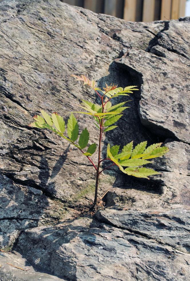 岩に根付く楓