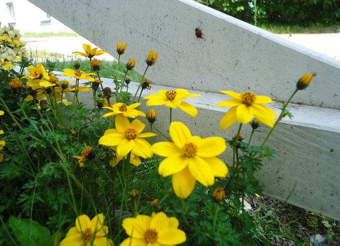 Biddens an Gartenzaun auf der Insel Hiddensee