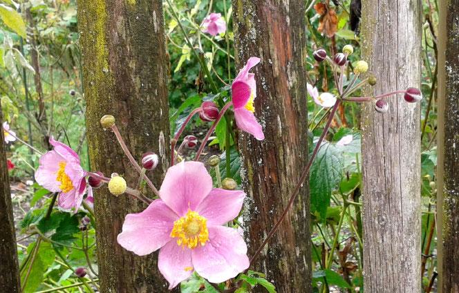Herbst-Anemonen und Staketenzaun
