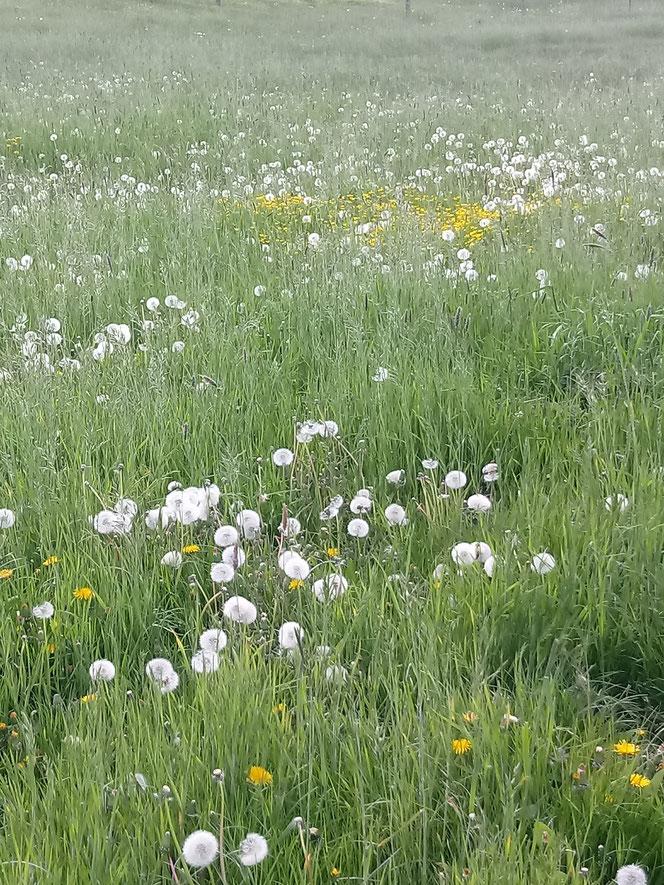 Deichvorland, Tespe, Deichhinterland, Blumenwiese