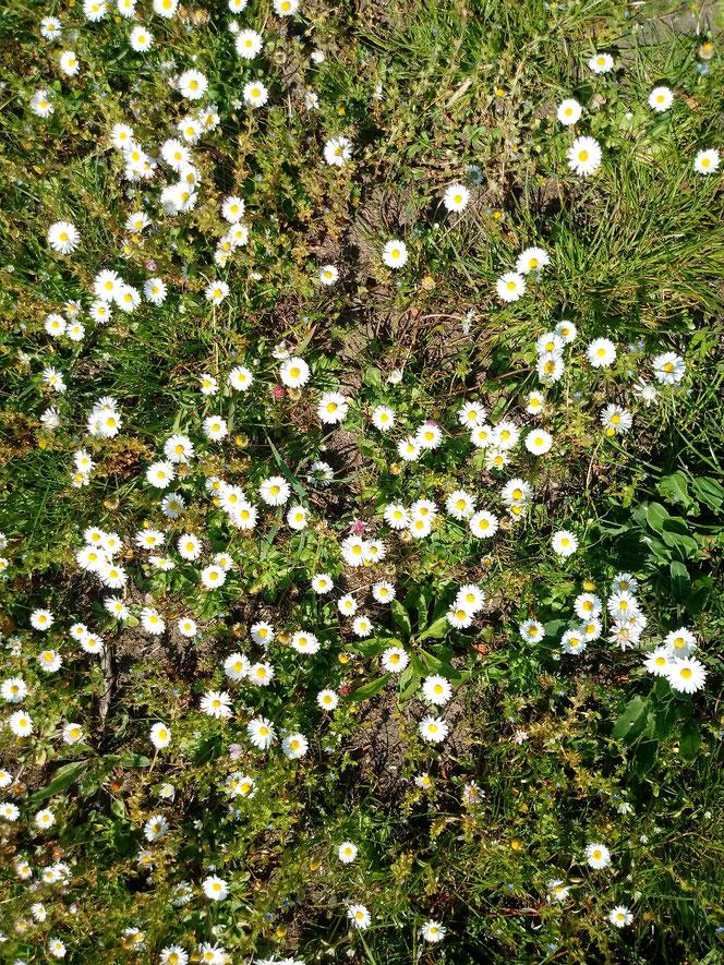 Gänseblümchen; Daisies, Daisy