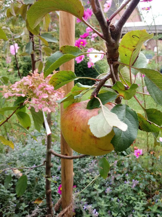 Erster und einziger Apfel an meinem im Frühjahr gepflanzten Apfelbaum