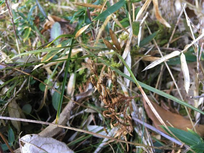 センブリ 野草 冬 果実