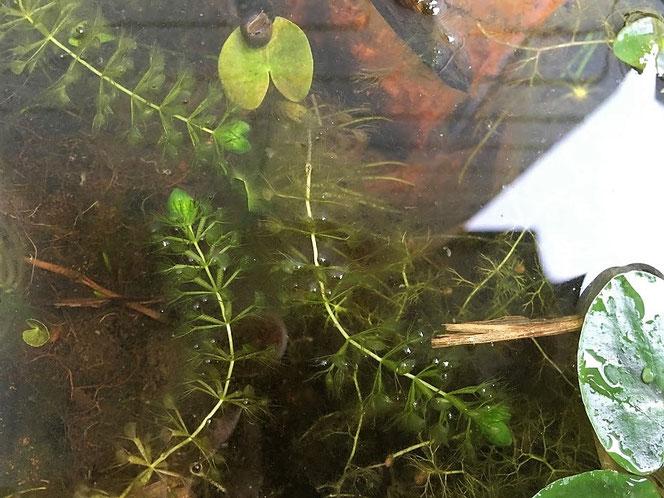 ムジナモ タニシ 食虫植物